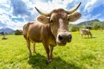 Livestock ETNs See Technical Bounce as Bargain Hunters Pounce