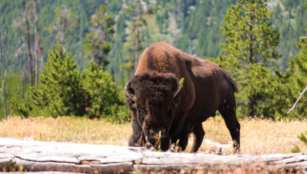Are Investors Headed For a Buffalo Jump?