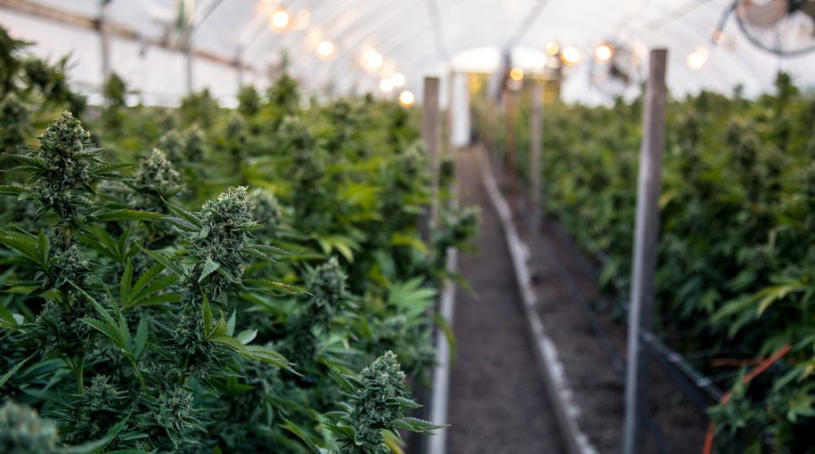 Rapid Growth Seen for Marijuana ETF
