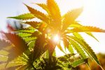 Golden State Could be Golden for Marijuana ETF
